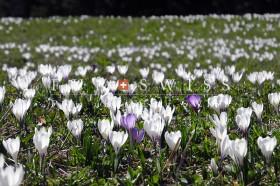春のグローセシャイデック クロッカス2