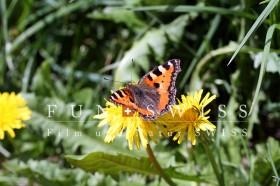 タンポポと蝶々