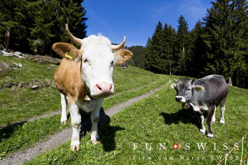 まだ麓近くに放牧されてる牛ちゃんたち