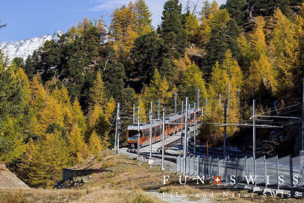 ゴルナグラート鉄道とカラマツ林