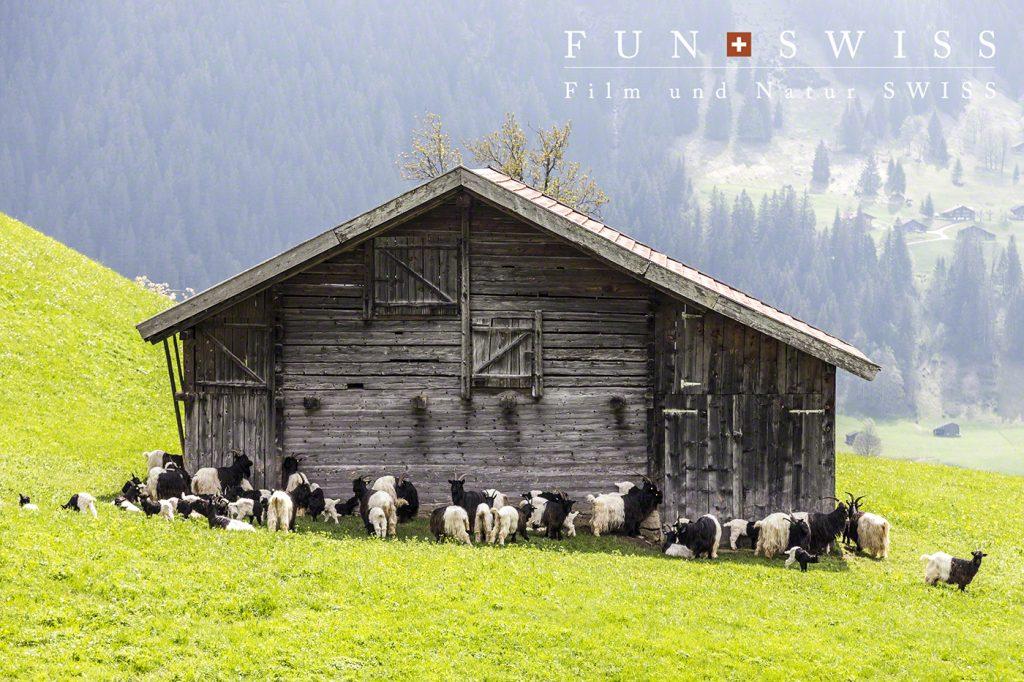 太陽光が暑すぎて、日陰を探す白黒山羊たち