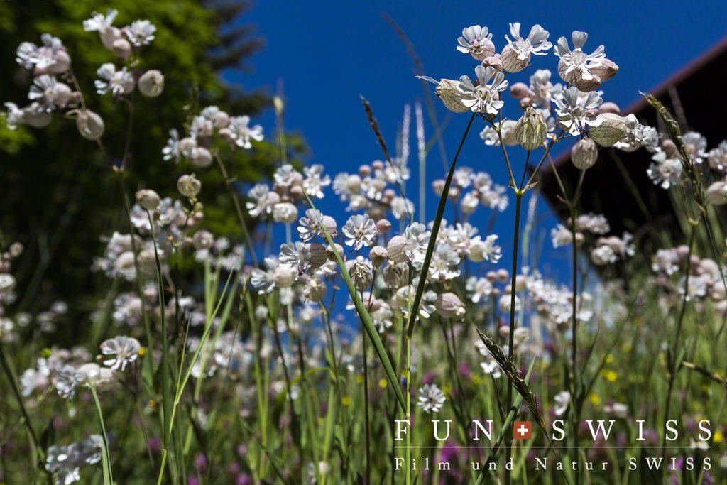 標高1,600mを超えるミューレンの村内は花盛り