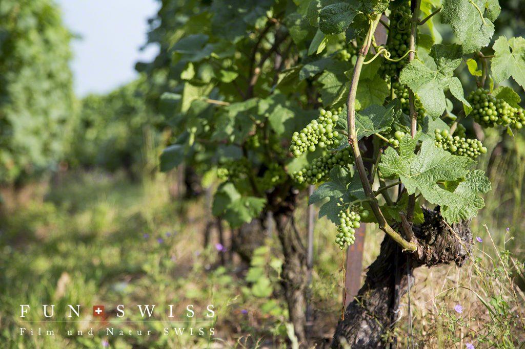 主なブドウの品種は、シャスラ(68.5%)、ガメイ(10.9%)、ピノ・ノワール(11.5%)