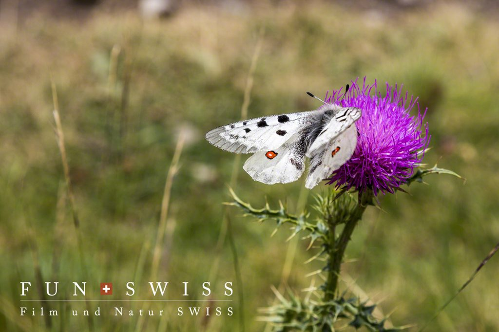 アポロ蝶とアザミ