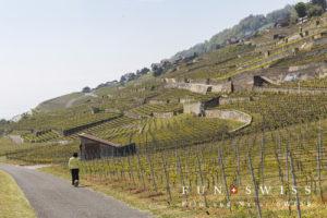 日当たりのいい南斜面を有効活用した段々のブドウ畑