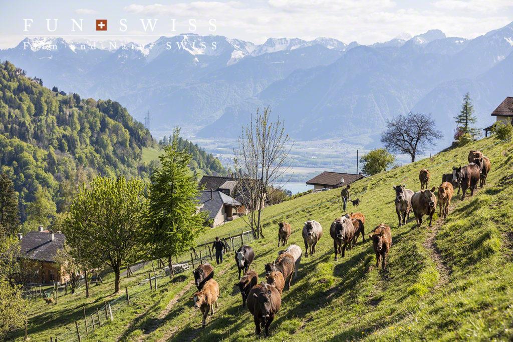 放牧の牛さんも、標高を徐々に上げていきます