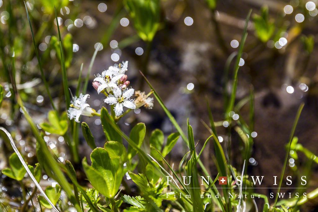ミツガシワ科ミツガシワ属の一属一種の多年草