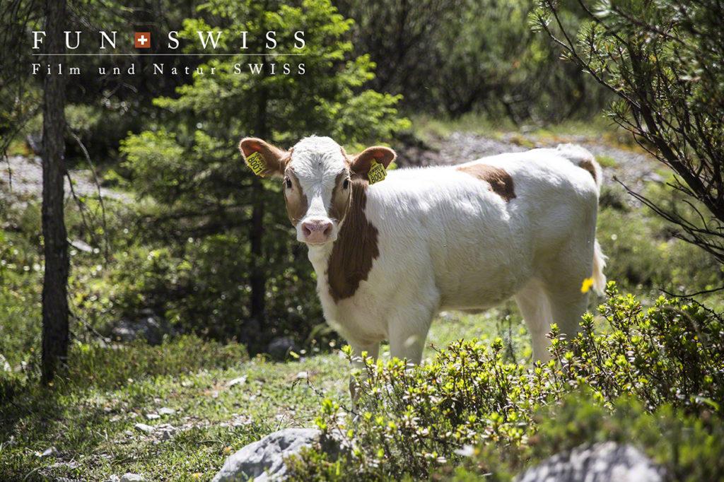 先約の牛さん