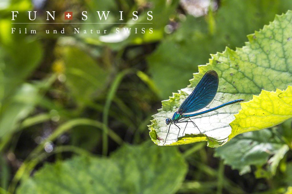 羽まで青いトンボ