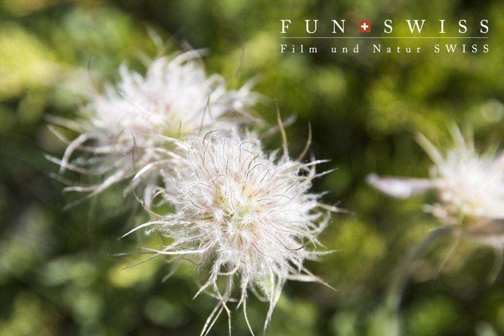 上の花が枯れると、、、こんな姿に!これがオキナグサです☆