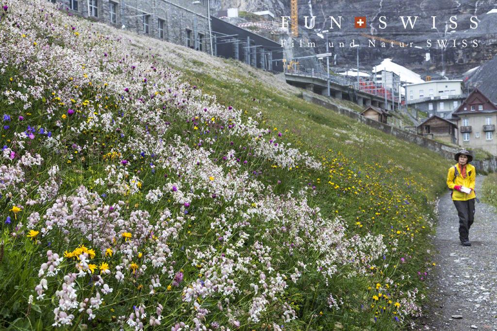 標高2,320mのアイガーグレッチャー付近も花爛漫♪ ナデシコ科が群生していました
