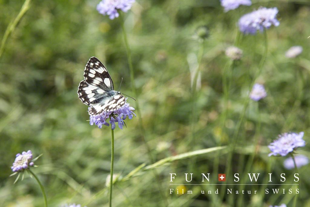 マツムシソウと蝶