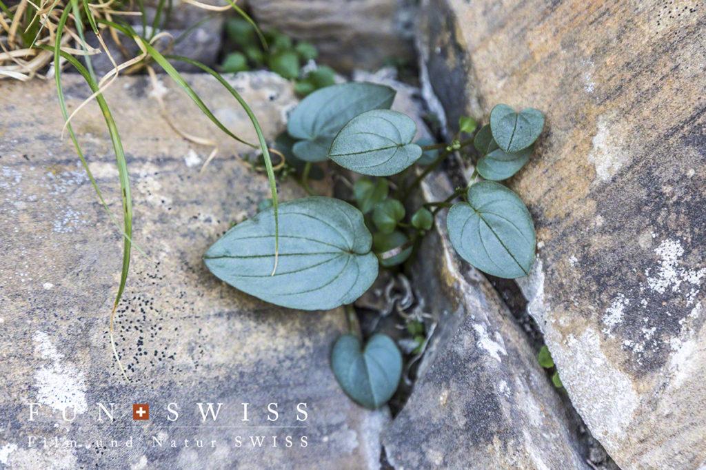 ボルデレア・ピレナシア。雌雄異株植物で石灰岩質のがれ場を好み、ボルデレアはフランスでは一属一種を代表する植物の一つ。