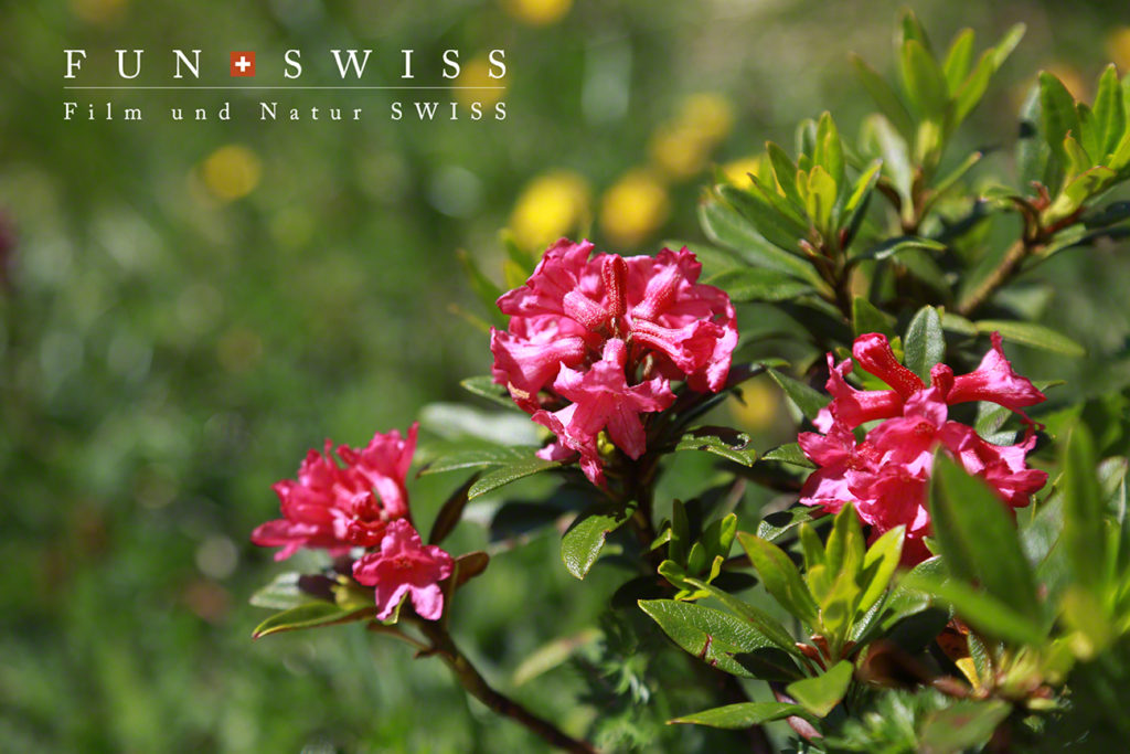 今年は咲始めが遅かったので、まだアルペンローゼもこんなに綺麗に咲いていました!